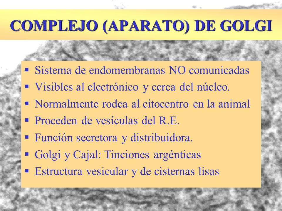 COMPLEJO (APARATO) DE GOLGI Sistema de endomembranas NO comunicadas Visibles al electrónico y cerca del núcleo. Normalmente rodea al citocentro en la