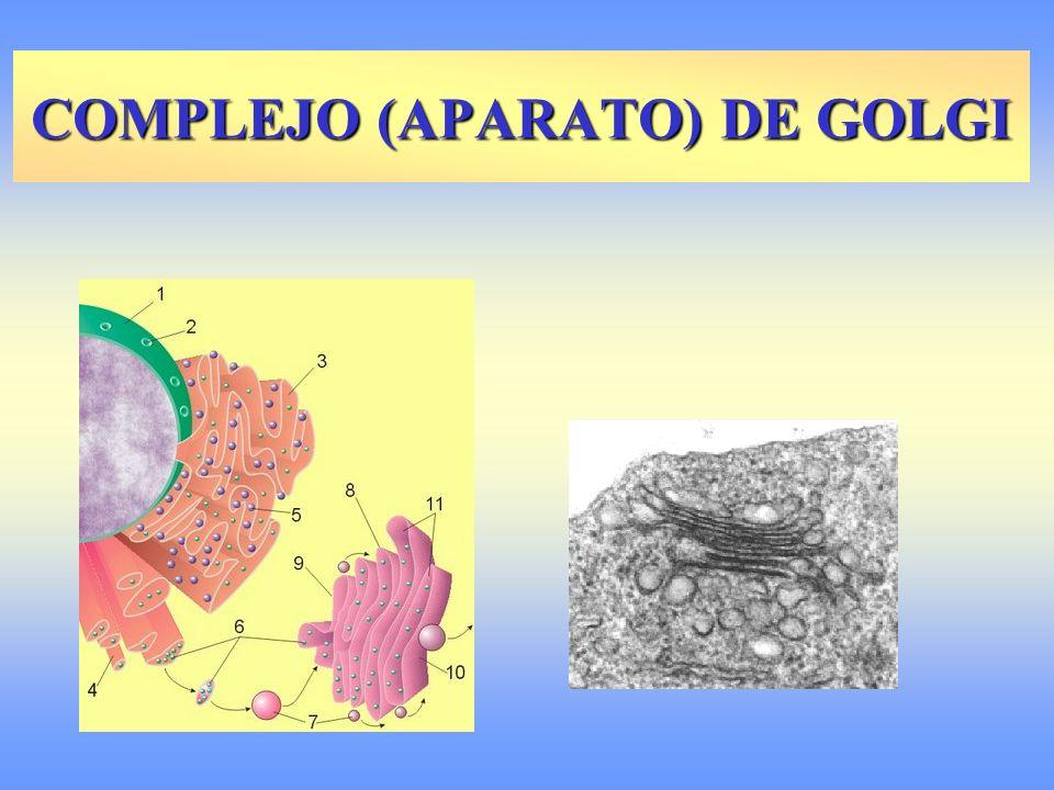 COMPLEJO (APARATO) DE GOLGI