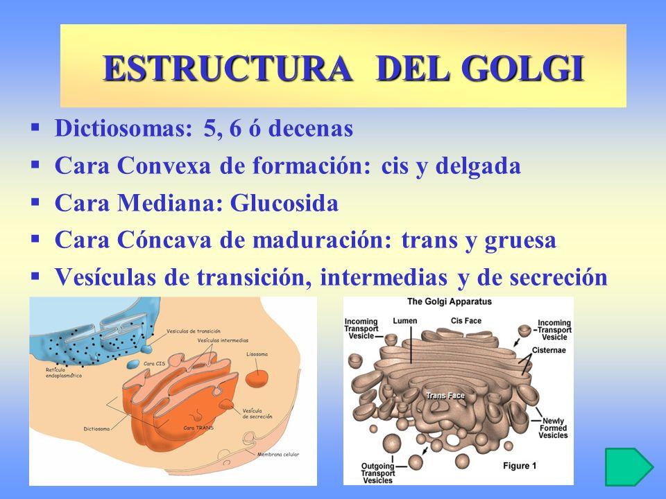 Dictiosomas: 5, 6 ó decenas Cara Convexa de formación: cis y delgada Cara Mediana: Glucosida Cara Cóncava de maduración: trans y gruesa Vesículas de t
