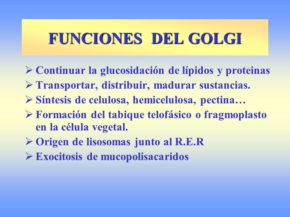 Continuar la glucosidación de lípidos y proteinas Transportar, distribuir, madurar sustancias. Síntesis de celulosa, hemicelulosa, pectina… Formación