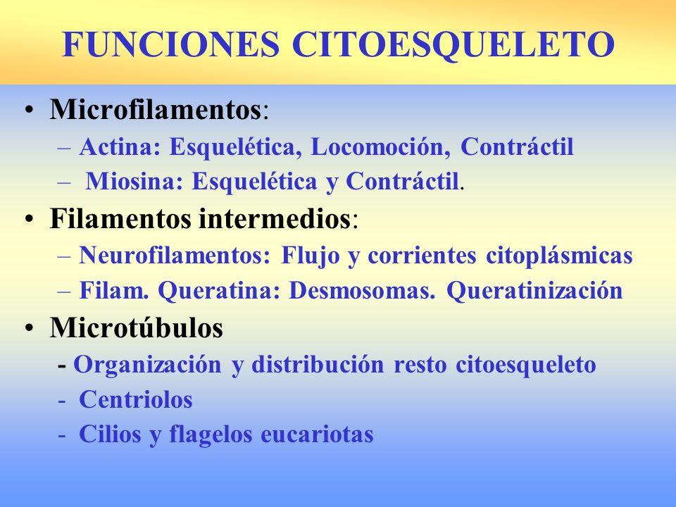 FUNCIONES CITOESQUELETO Microfilamentos: –Actina: Esquelética, Locomoción, Contráctil – Miosina: Esquelética y Contráctil. Filamentos intermedios: –Ne