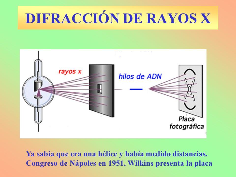 DIFRACCIÓN DE RAYOS X Ya sabía que era una hélice y había medido distancias. Congreso de Nápoles en 1951, Wilkins presenta la placa