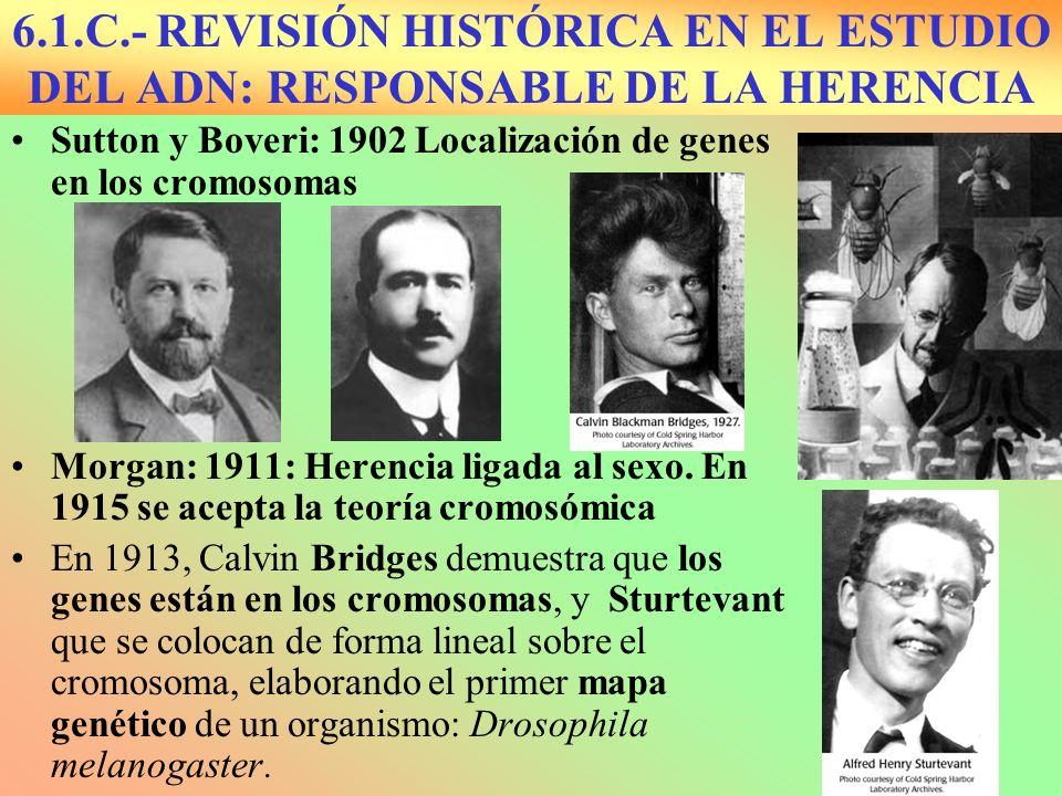 6.1.C.- REVISIÓN HISTÓRICA EN EL ESTUDIO DEL ADN: RESPONSABLE DE LA HERENCIA Sutton y Boveri: 1902 Localización de genes en los cromosomas Morgan: 191