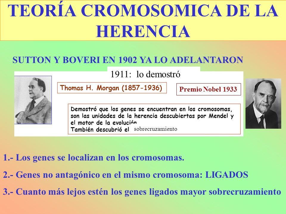 TEORÍA CROMOSOMICA DE LA HERENCIA SUTTON Y BOVERI EN 1902 YA LO ADELANTARON 1.- Los genes se localizan en los cromosomas. 2.- Genes no antagónico en e