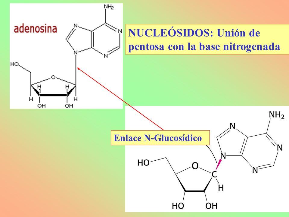 Enlace N-Glucosídico NUCLEÓSIDOS: Unión de pentosa con la base nitrogenada