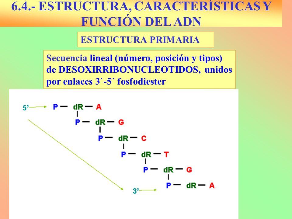 ESTRUCTURA PRIMARIA 6.4.- ESTRUCTURA, CARACTERÍSTICAS Y FUNCIÓN DEL ADN Secuencia lineal (número, posición y tipos) de DESOXIRRIBONUCLEOTIDOS, unidos