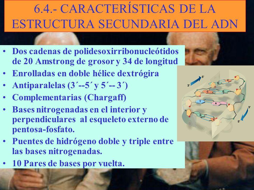 6.4.- CARACTERÍSTICAS DE LA ESTRUCTURA SECUNDARIA DEL ADN Dos cadenas de polidesoxirribonucleótidos de 20 Amstrong de grosor y 34 de longitud Enrollad