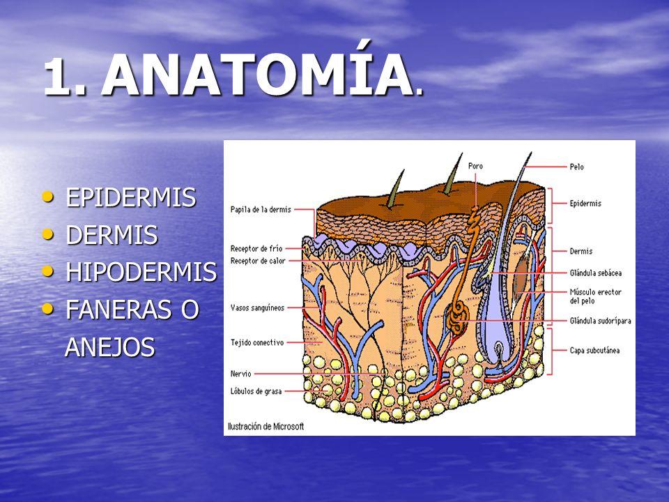 1. ANATOMÍA. EPIDERMIS EPIDERMIS DERMIS DERMIS HIPODERMIS HIPODERMIS FANERAS O FANERAS O ANEJOS ANEJOS