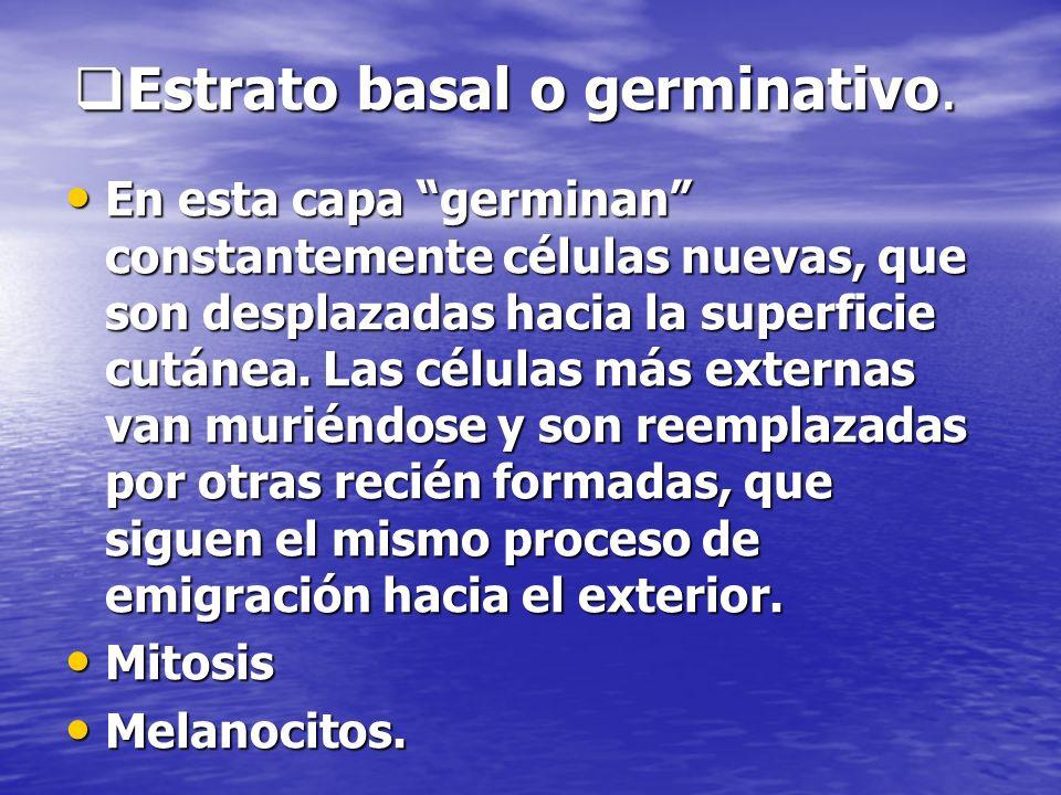 Estrato basal o germinativo. Estrato basal o germinativo. En esta capa germinan constantemente células nuevas, que son desplazadas hacia la superficie