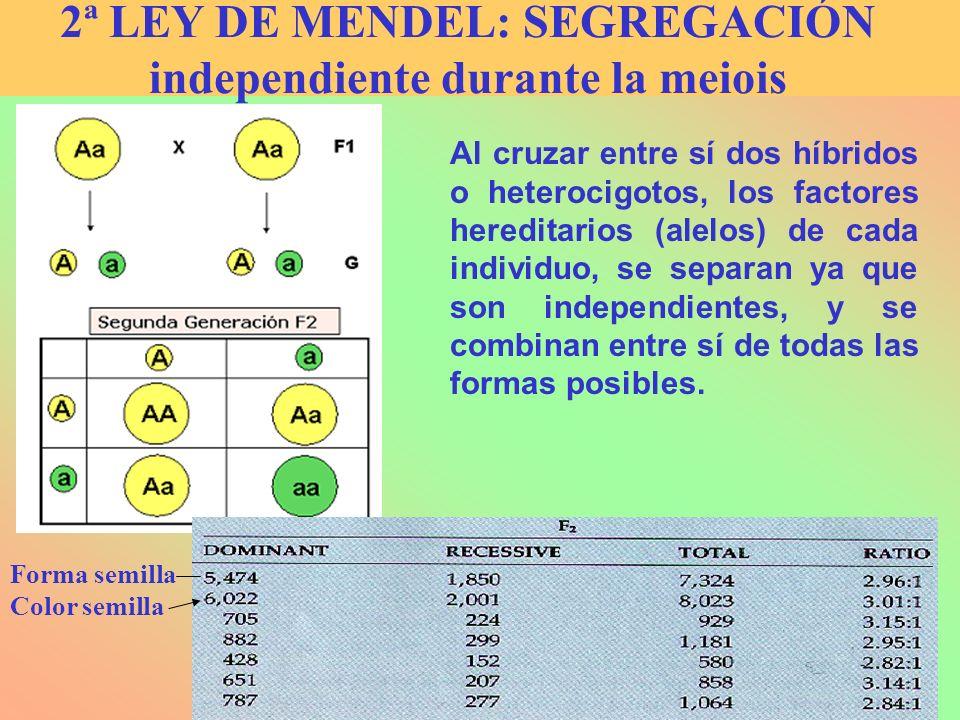 Al cruzar entre sí dos híbridos o heterocigotos, los factores hereditarios (alelos) de cada individuo, se separan ya que son independientes, y se comb