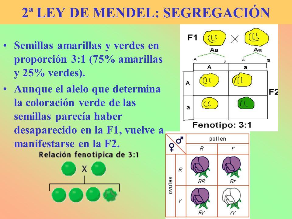 2ª LEY DE MENDEL: SEGREGACIÓN Semillas amarillas y verdes en proporción 3:1 (75% amarillas y 25% verdes). Aunque el alelo que determina la coloración