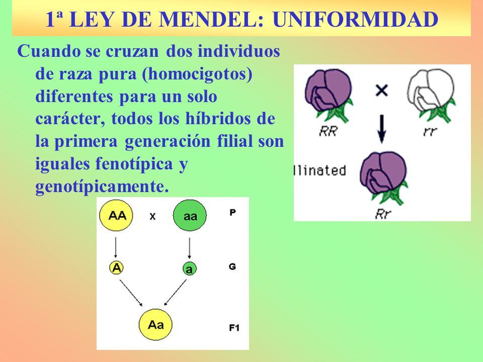 1ª LEY DE MENDEL: UNIFORMIDAD Cuando se cruzan dos individuos de raza pura (homocigotos) diferentes para un solo carácter, todos los híbridos de la pr