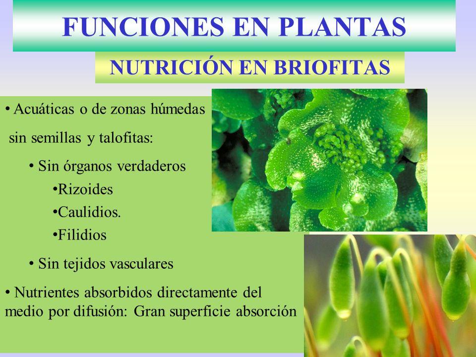 FUNCIONES EN PLANTAS NUTRICIÓN EN BRIOFITAS Acuáticas o de zonas húmedas sin semillas y talofitas: Sin órganos verdaderos Rizoides Caulidios. Filidios
