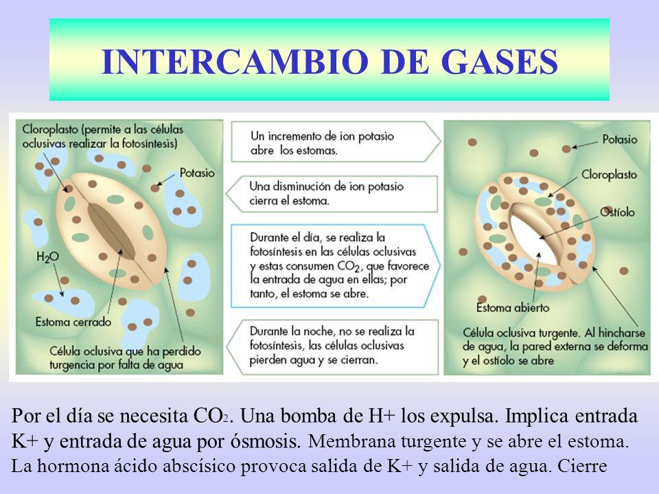 Por el día se necesita CO 2. Una bomba de H+ los expulsa. Implica entrada K+ y entrada de agua por ósmosis. Membrana turgente y se abre el estoma. La