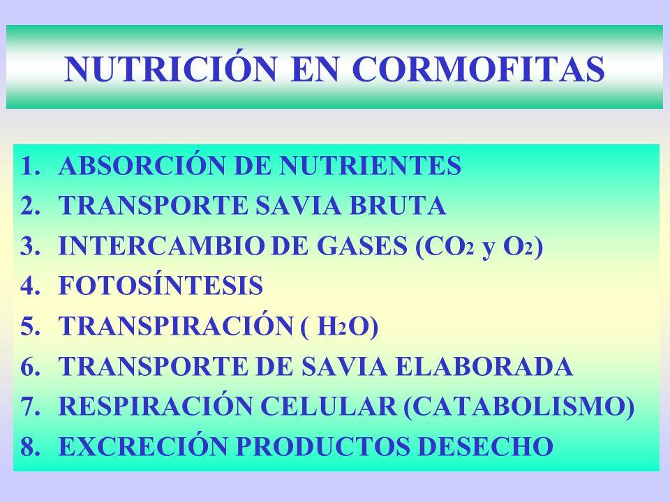 NUTRICIÓN EN CORMOFITAS 1.ABSORCIÓN DE NUTRIENTES 2.TRANSPORTE SAVIA BRUTA 3.INTERCAMBIO DE GASES (CO 2 y O 2 ) 4.FOTOSÍNTESIS 5.TRANSPIRACIÓN ( H 2 O