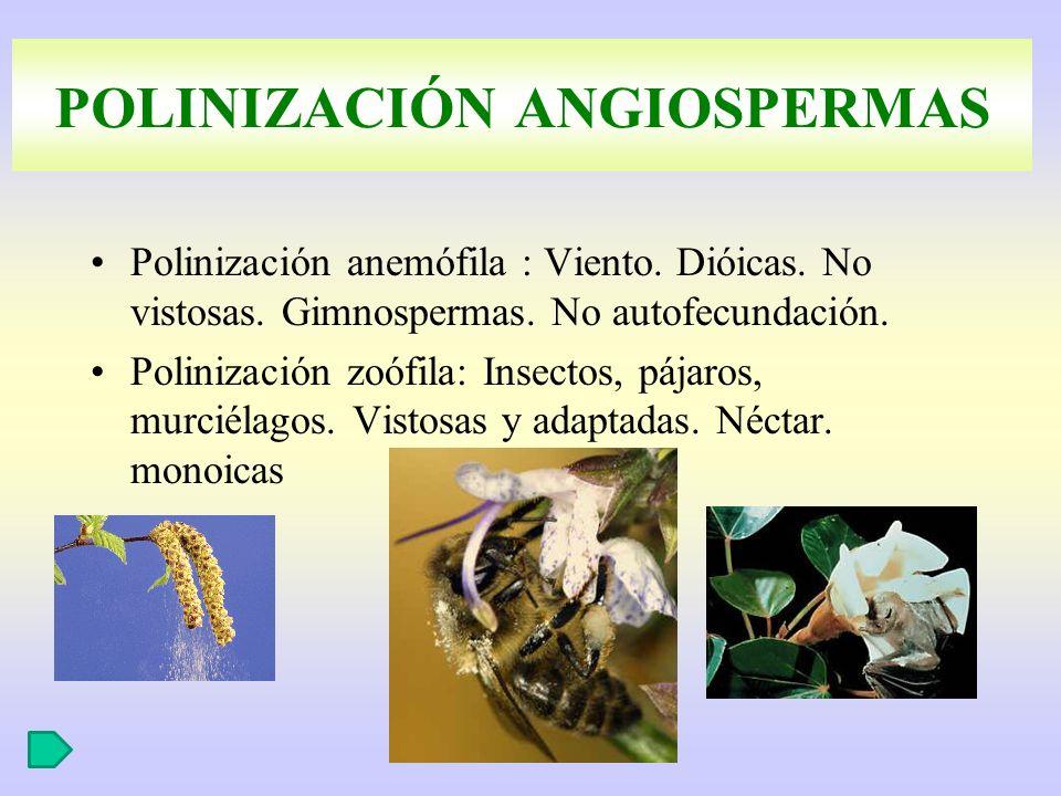 POLINIZACIÓN ANGIOSPERMAS Polinización anemófila : Viento. Dióicas. No vistosas. Gimnospermas. No autofecundación. Polinización zoófila: Insectos, páj