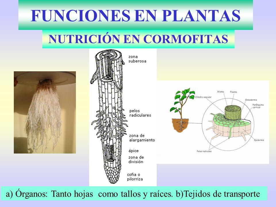FUNCIONES EN PLANTAS NUTRICIÓN EN CORMOFITAS a) Órganos: Tanto hojas como tallos y raíces. b)Tejidos de transporte