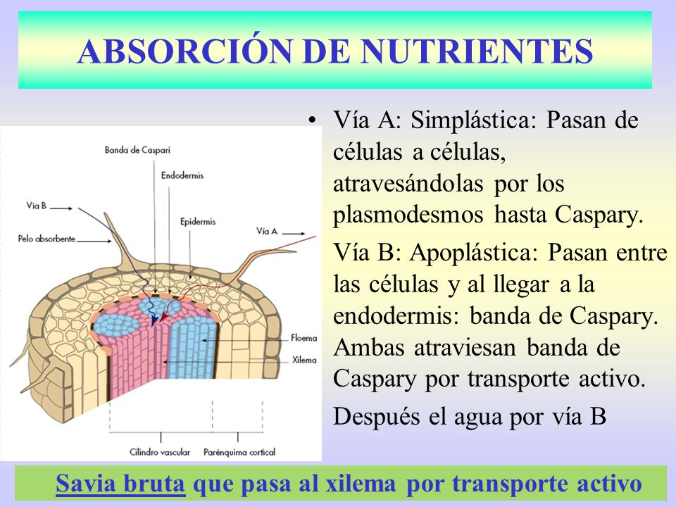 ABSORCIÓN DE NUTRIENTES Vía A: Simplástica: Pasan de células a células, atravesándolas por los plasmodesmos hasta Caspary. Vía B: Apoplástica: Pasan e