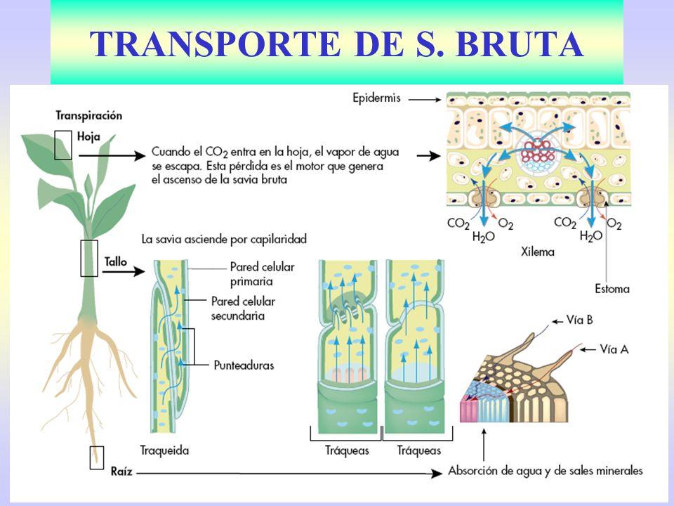 Cormofitas y necesidad de tejidos conductores: xilema y floema Savia bruta: –Capilaridad en herbáceas.