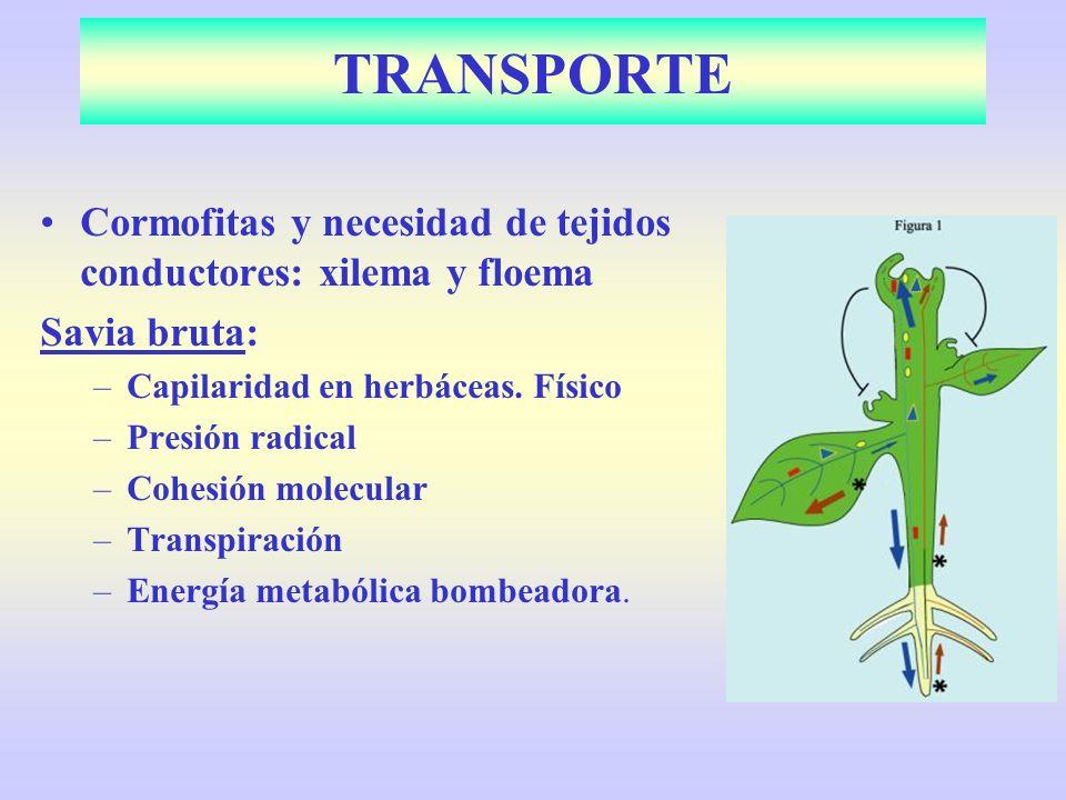 Cormofitas y necesidad de tejidos conductores: xilema y floema Savia bruta: –Capilaridad en herbáceas. Físico –Presión radical –Cohesión molecular –Tr