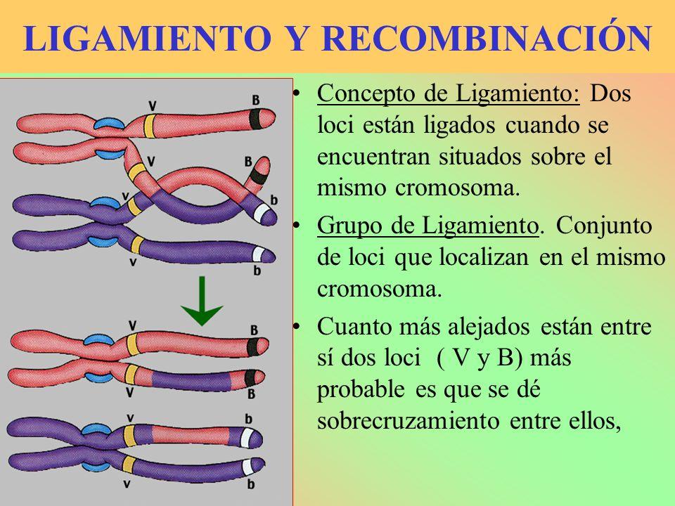 SOBRECRUZAMIENTO Como consecuencia del sobrecruzamiento se transfieren genes de un cromosoma homólogo a otro.