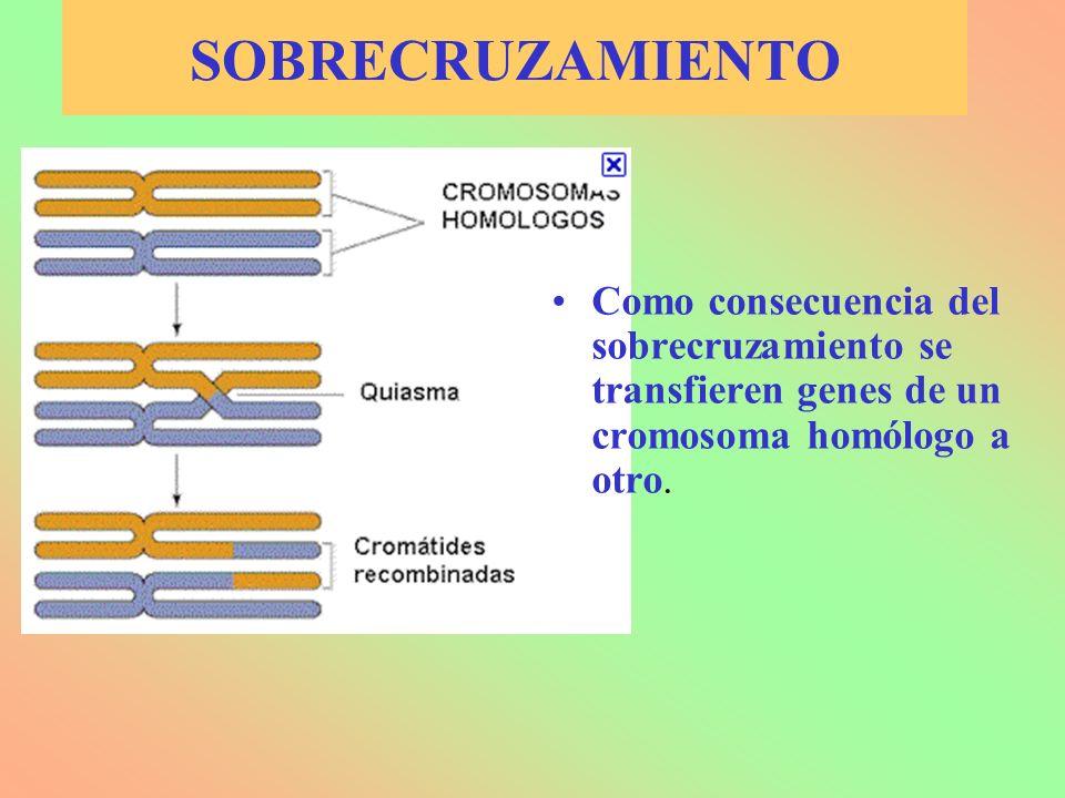7.5.- HERENCIA DEL SEXO Determinación cromosómica: –XX/XY: Mamíferos –XX/X0: Insectos –ZW/ZZ: Aves –Relación Autosómicos/Sexuales: Insectos Determinación génica: –Serie alélica: Pepinillo del diablo Determinación por haplodiploidía: – Insectos sociales: Hembras diploides y machos haploides Determinación ambiental: –Cocodrilos y temperatura superior a 27º C: Machos –Relación de nº de machos / nº de hembras –Sustrato de fijación: Moluscos