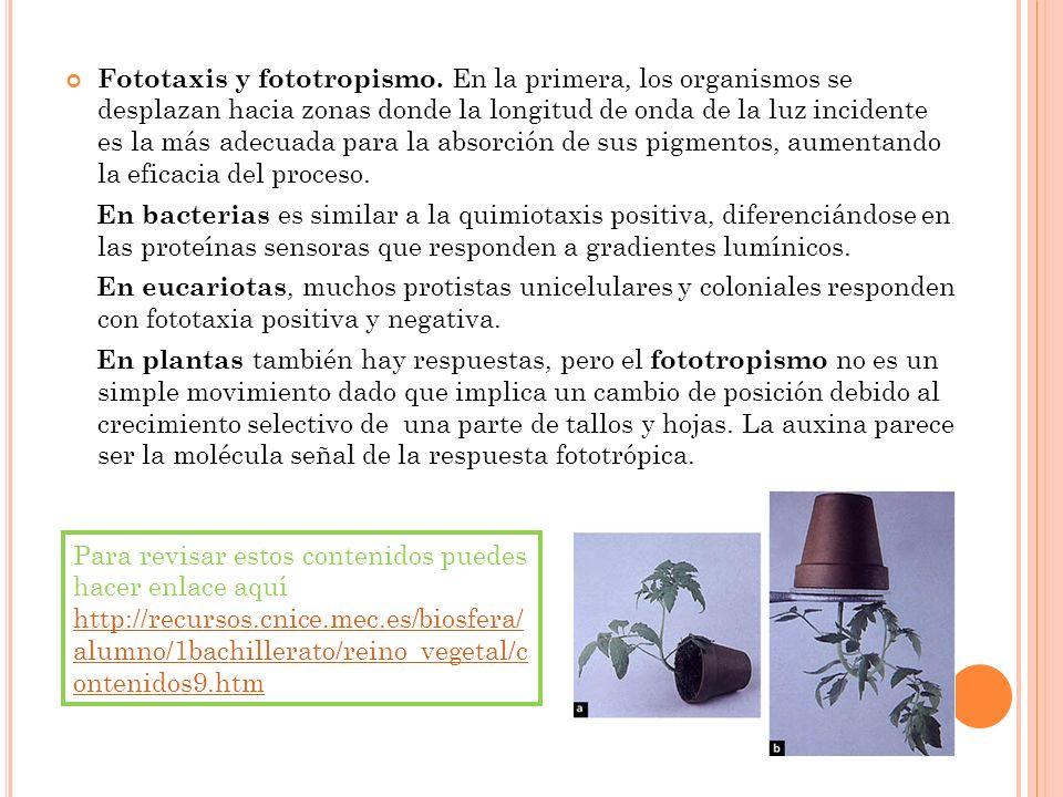 Fototaxis y fototropismo. En la primera, los organismos se desplazan hacia zonas donde la longitud de onda de la luz incidente es la más adecuada para