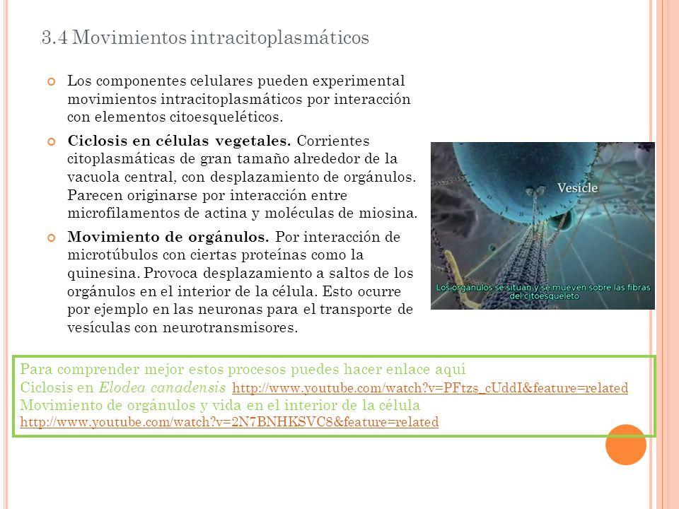 3.4 Movimientos intracitoplasmáticos Los componentes celulares pueden experimental movimientos intracitoplasmáticos por interacción con elementos cito
