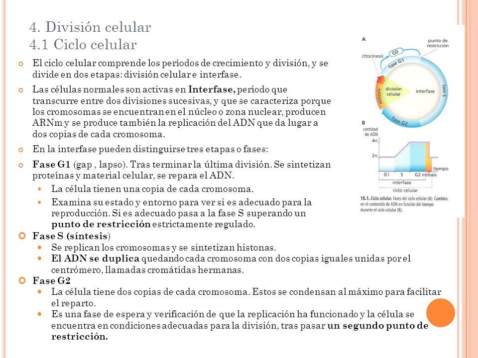 4. División celular 4.1 Ciclo celular El ciclo celular comprende los períodos de crecimiento y división, y se divide en dos etapas: división celular e