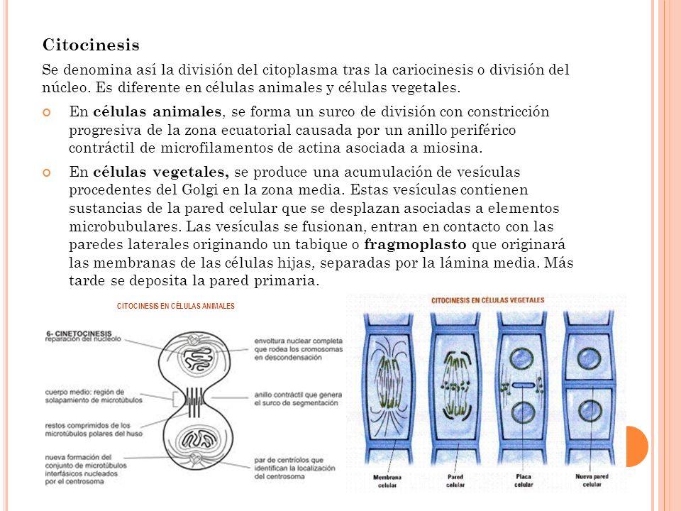 Citocinesis Se denomina así la división del citoplasma tras la cariocinesis o división del núcleo. Es diferente en células animales y células vegetale