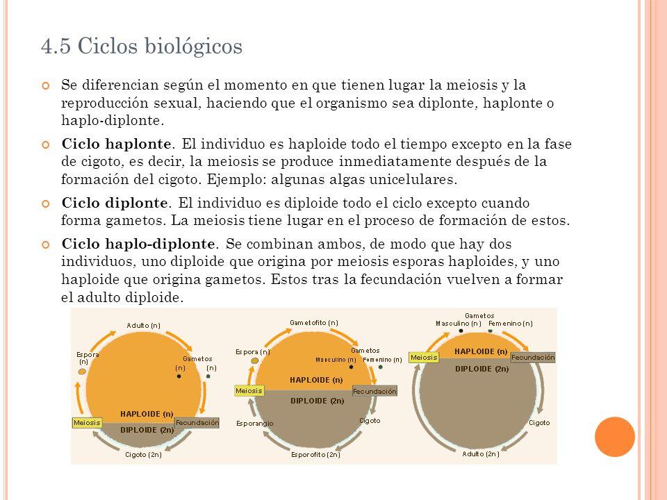 4.5 Ciclos biológicos Se diferencian según el momento en que tienen lugar la meiosis y la reproducción sexual, haciendo que el organismo sea diplonte,