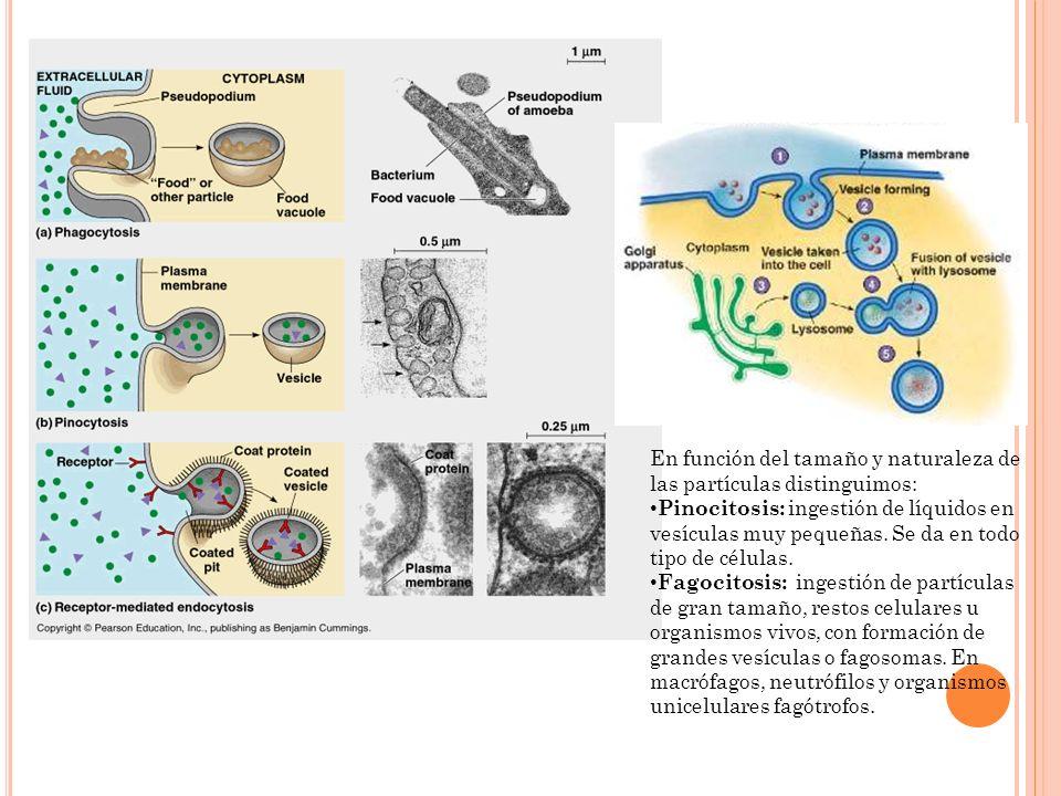 En función del tamaño y naturaleza de las partículas distinguimos: Pinocitosis: ingestión de líquidos en vesículas muy pequeñas. Se da en todo tipo de