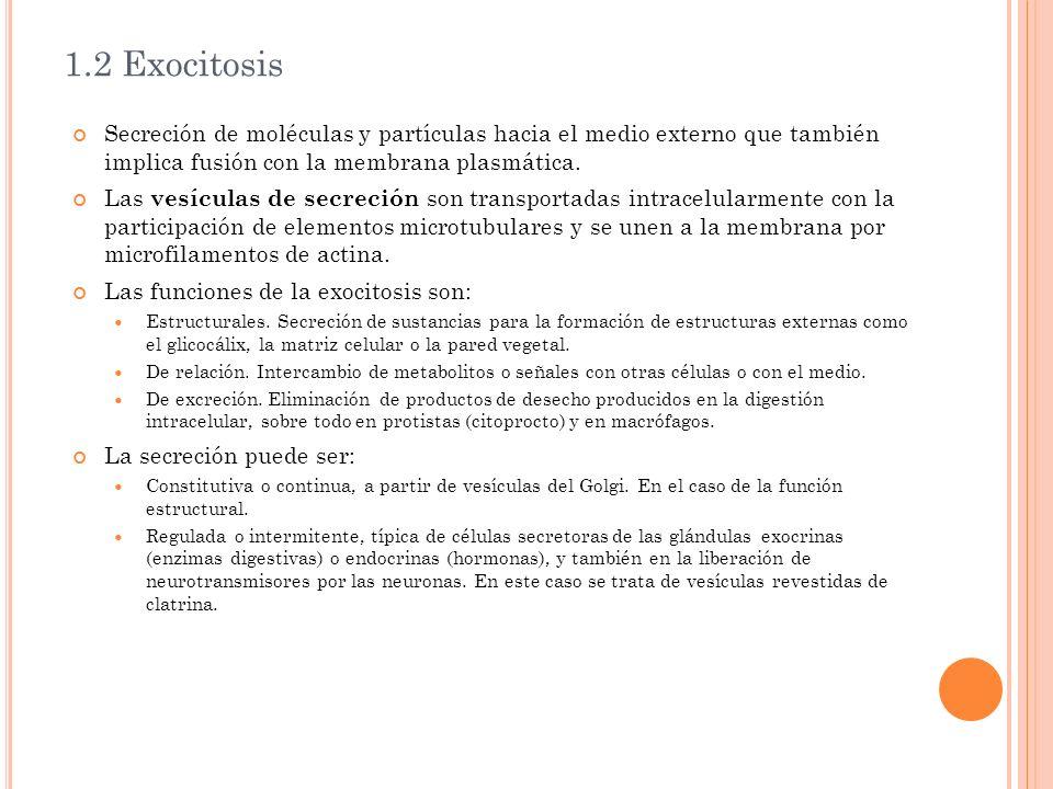 1.2 Exocitosis Secreción de moléculas y partículas hacia el medio externo que también implica fusión con la membrana plasmática. Las vesículas de secr