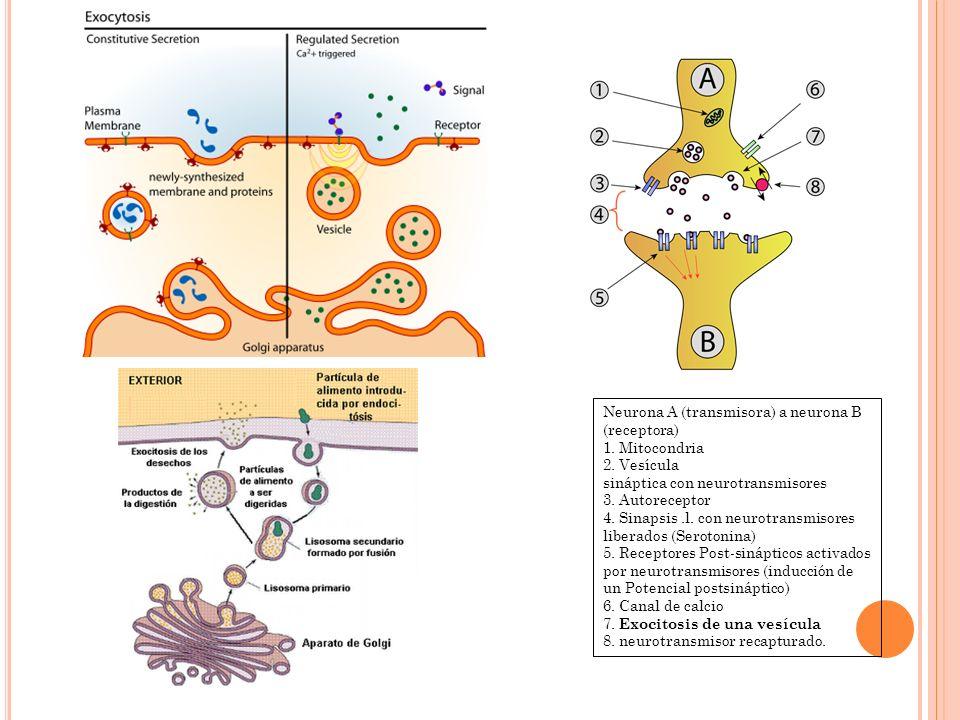 Neurona A (transmisora) a neurona B (receptora) 1. Mitocondria 2. Vesícula sináptica con neurotransmisores 3. Autoreceptor 4. Sinapsis.l. con neurotra