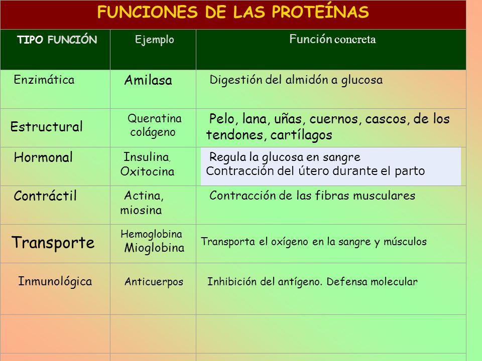 FUNCIONES DE LAS PROTEÍNAS TIPO FUNCIÓN Ejemplo Función concreta Enzimática Amilasa Digestión del almidón a glucosa Estructural Q ueratina colágeno Pe