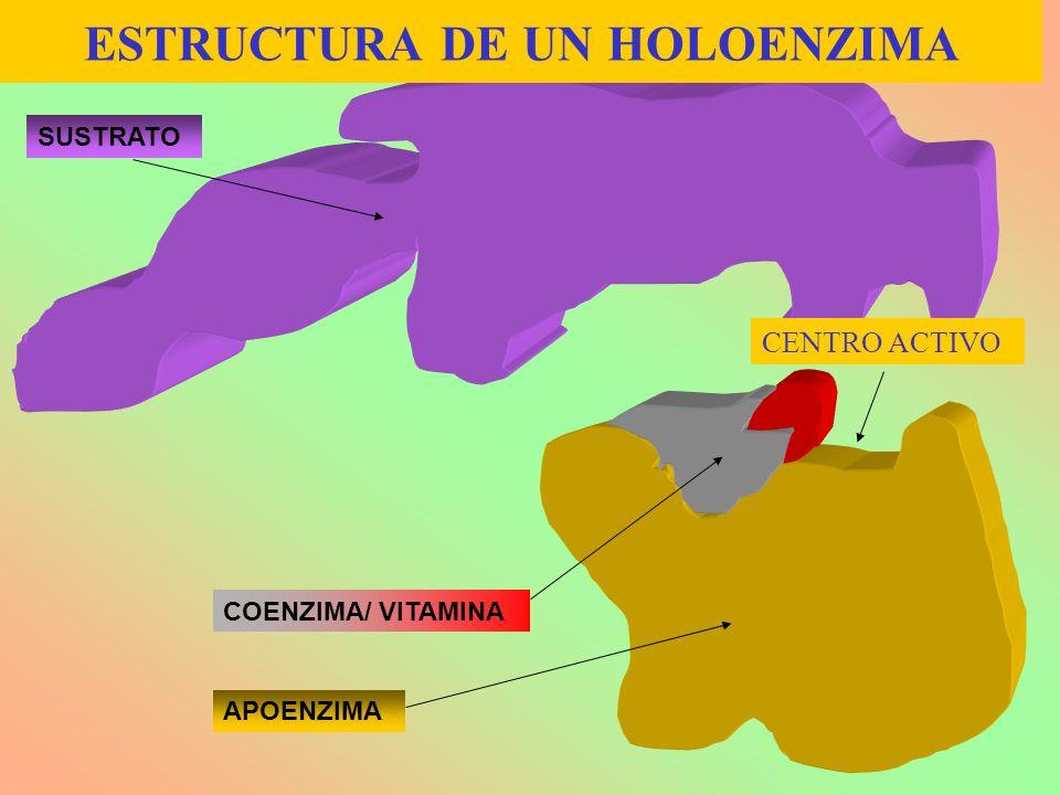 ESTRUCTURA DE UN HOLOENZIMA APOENZIMA COENZIMA/ VITAMINA SUSTRATO CENTRO ACTIVO