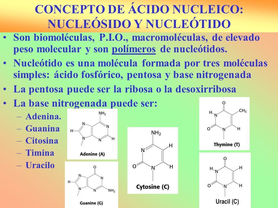 Son biomoléculas, P.I.O., macromoléculas, de elevado peso molecular y son polímeros de nucleótidos. Nucleótido es una molécula formada por tres molécu