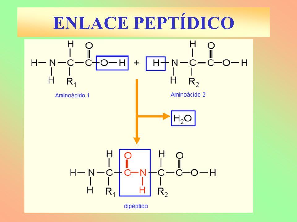TIPOS DE ARN ARN m : Sólo estructura primaria, de elevado peso molecular.