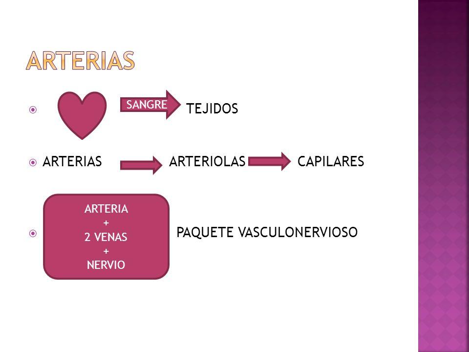 TEJIDOS ARTERIASARTERIOLAS CAPILARES PAQUETE VASCULONERVIOSO SANGRE ARTERIA + 2 VENAS + NERVIO