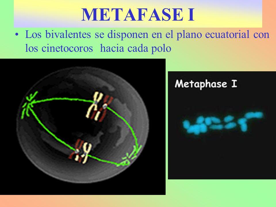 Los bivalentes se disponen en el plano ecuatorial con los cinetocoros hacia cada polo METAFASE I