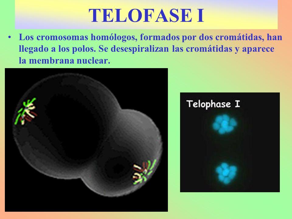 Los cromosomas homólogos, formados por dos cromátidas, han llegado a los polos. Se desespiralizan las cromátidas y aparece la membrana nuclear. TELOFA