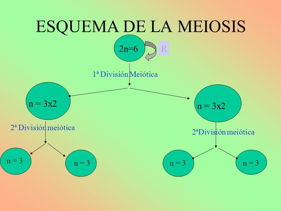 ESQUEMA DE LA MEIOSIS 2n=6 n = 3x2 n 2 =6 1ª División Meiótica R 2ªDivisión meiótica n = 3 n = 3x2
