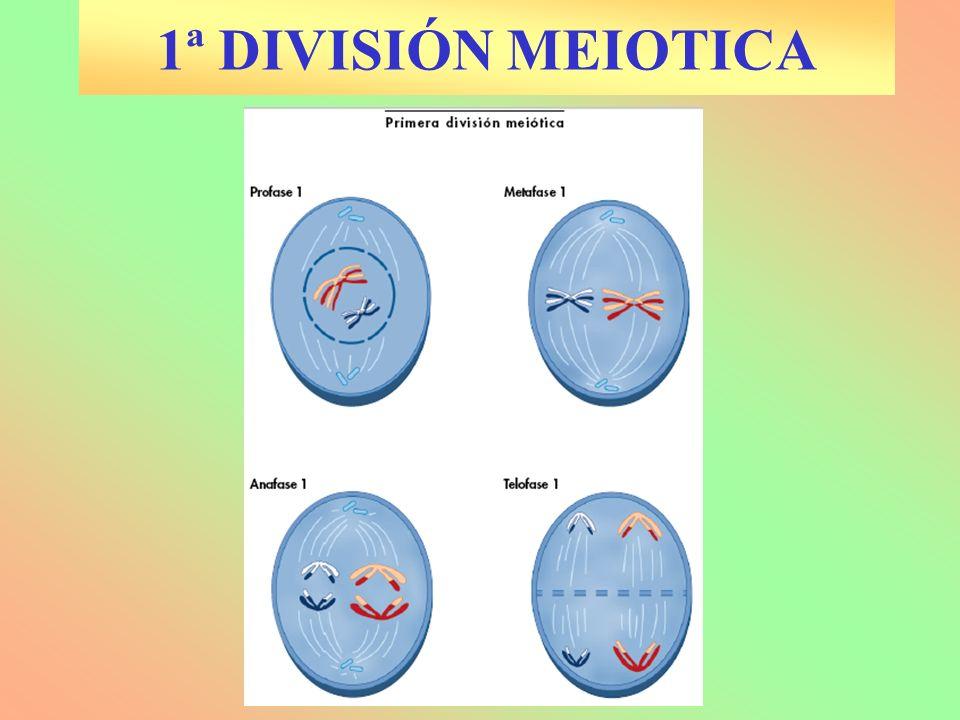 1ª DIVISIÓN MEIOTICA