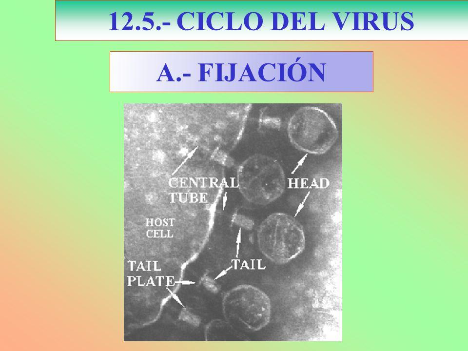 12.5.- CICLO DEL VIRUS A.- FIJACIÓN