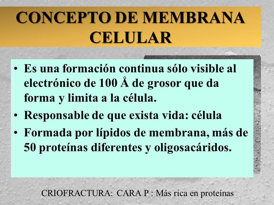 CONCEPTO DE MEMBRANA CELULAR Es una formación continua sólo visible al electrónico de 100 Å de grosor que da forma y limita a la célula. Responsable d
