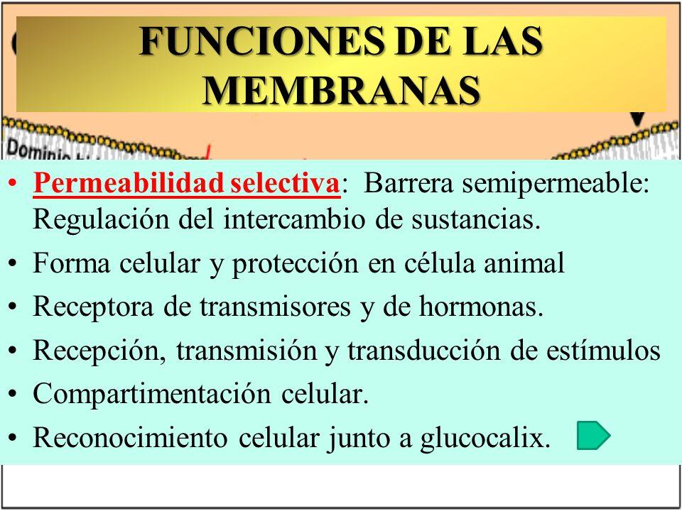 FUNCIONES DE LAS MEMBRANAS D.N.I. Molecular Permeabilidad selectiva: Barrera semipermeable: Regulación del intercambio de sustancias. Forma celular y