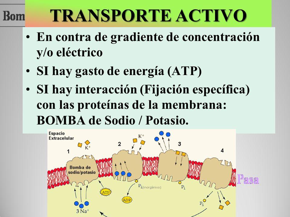 TRANSPORTE ACTIVO En contra de gradiente de concentración y/o eléctrico SI hay gasto de energía (ATP) SI hay interacción (Fijación específica) con las
