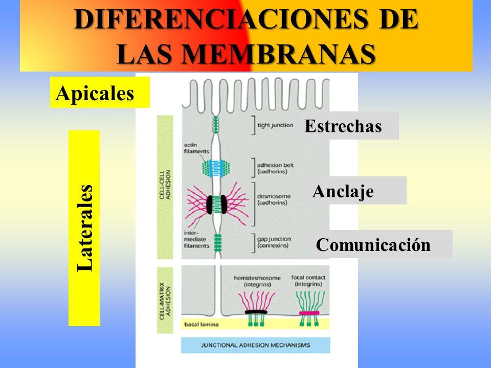 Apicales Laterales Estrechas Comunicación Anclaje DIFERENCIACIONES DE LAS MEMBRANAS