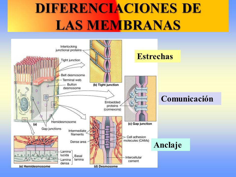 Comunicación DIFERENCIACIONES DE LAS MEMBRANAS Estrechas Anclaje