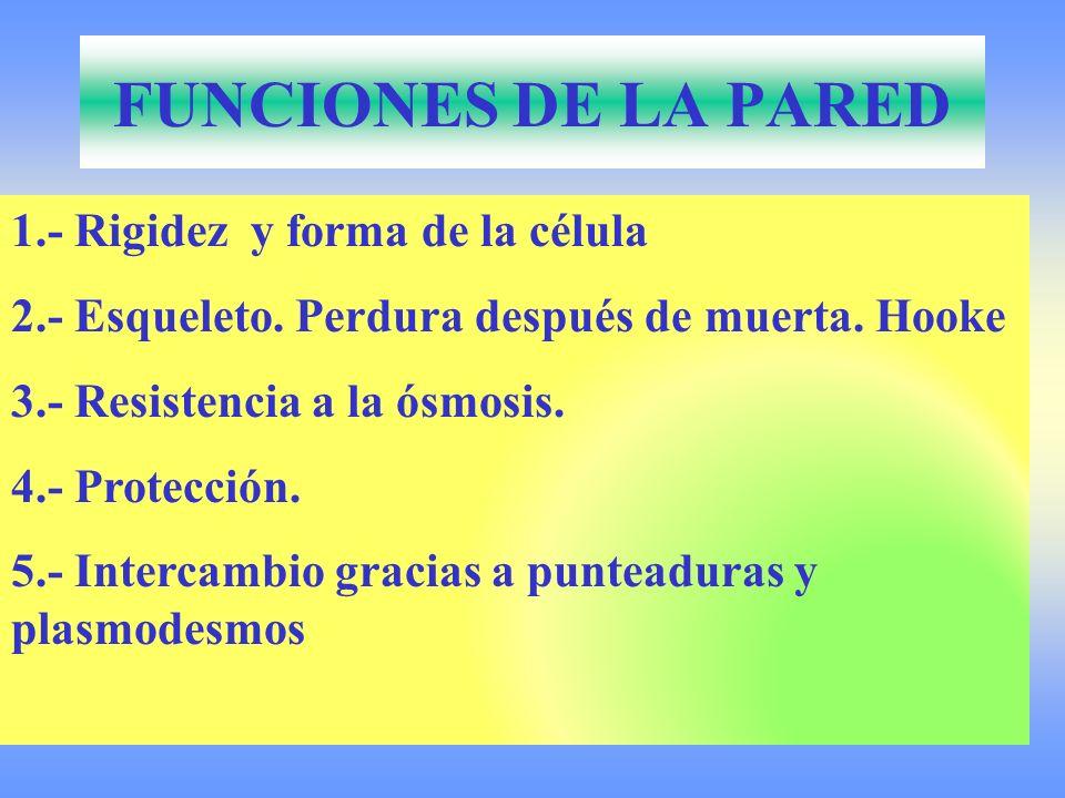 FUNCIONES DE LA PARED 1.- Rigidez y forma de la célula 2.- Esqueleto. Perdura después de muerta. Hooke 3.- Resistencia a la ósmosis. 4.- Protección. 5